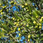 üppige Olivenbäume am Weg nach Valfabbrica