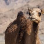 radreise oman: kamele - so unglaublich fotogen :)