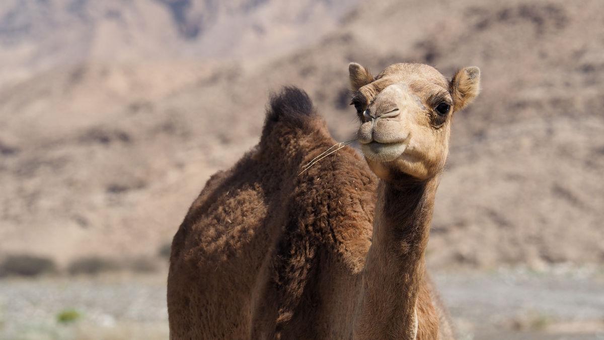 Kamel im Wadi Dhank
