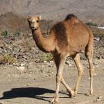 Kamel zwischen Hujayrimat und Al Hijr