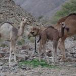 abends noch auf Kamelbesuch