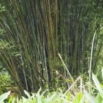 dichter Bambus überall