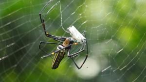 riesen Spinne wickelt Abendessen ein