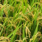 Reisfelder am Weg nach Zhudong