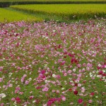 Blumenwiesen am Weg nach Zhudong