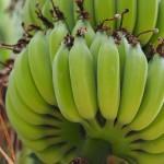Bananen - leider noch unreif
