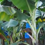 in Plastik gehüllte Bananen