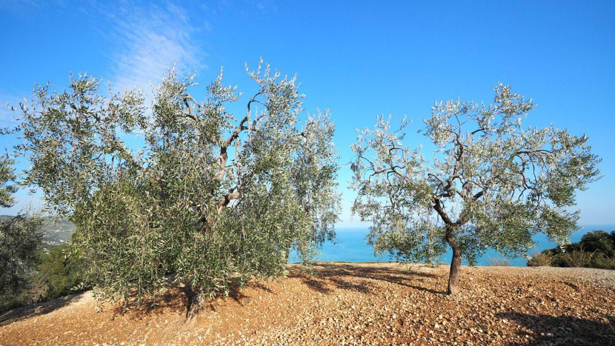 Olivenbäume (Gargano)